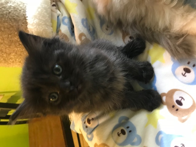ragdoll kittens for sale available kittens ragdoll blues