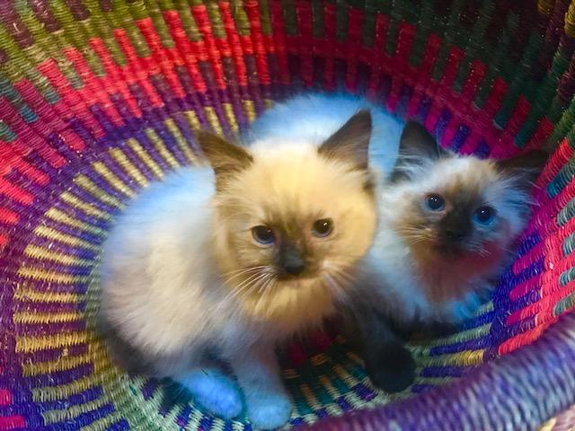 Ragdoll Kittens for Sale Available kittens | Ragdoll Blues